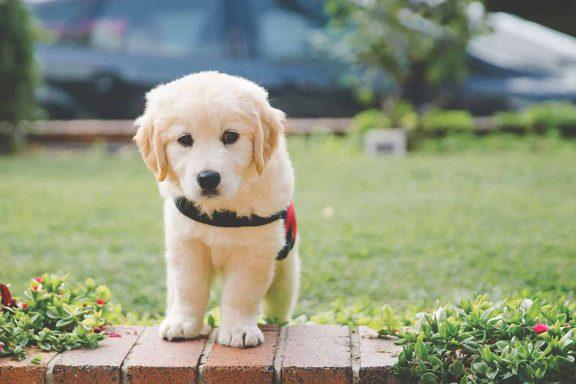 Smart-Pups-labrador-puppy